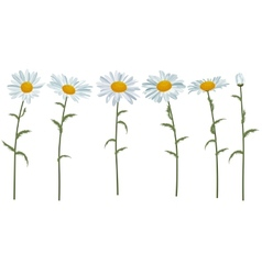 White realistic daisies isolated vector image vector image