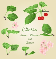 Cherry leaves and berries and blossoms vector