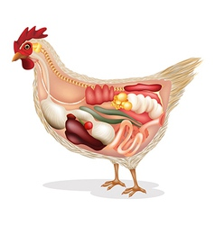 Anatomy of chicken vector
