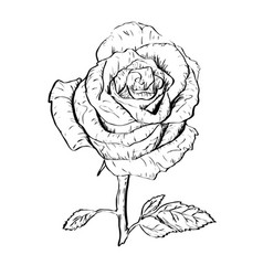 ink rose outline vector image