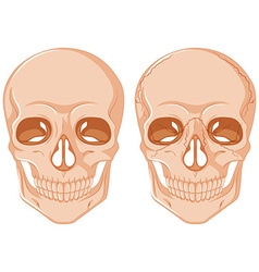 Two skulls on white background vector image