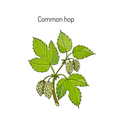 Common hop branch vector