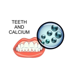 healthy teeth and calcium vector image vector image