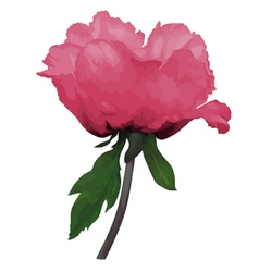 Plant Paeonia arborea Tree peony pink flower vector image vector image
