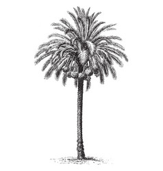 Common date palm vintage vector