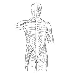 Distribution of cutaneous nerves on the back vector
