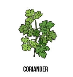 Coriander herb cilantro Chinese parsley leaves vector image