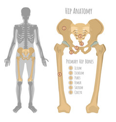 Male hip bone anatomy vector