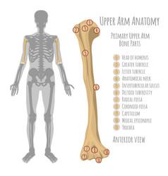 human upper arm anatomy vector image vector image