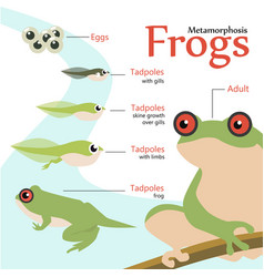 metamorphosis life cycle of a frog vector image