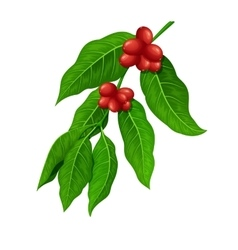 Coffee branch Coffee plant with coffee leaf vector image vector image