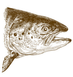 engraving of salmon head vector image vector image