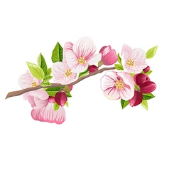 Branch of apple blossoms spring vector