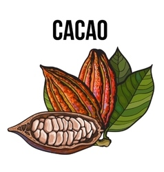 Hand drawn whole and half cacao fruits with leaves vector image vector image