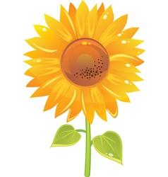 sunflower vector image