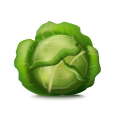 realistic detailed 3d fresh green cabbage vector image vector image