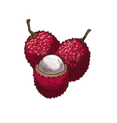 Lychee fruit sketch isolated icon vector