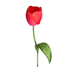 Red tulip flower isolated on white background vector