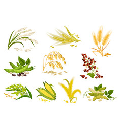 Grain and cereals ears isolated icons vector