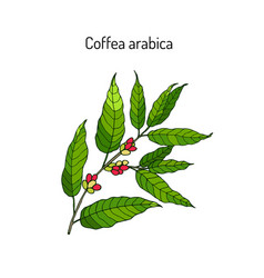 Hand drawn coffee tree branch vector