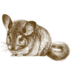 Engraving of chinchilla vector