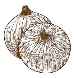 Engraving two onions vector