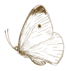 Engraving of small cabbage white butterfly vector