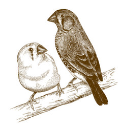 Engraving of two japanese finches vector