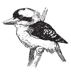 Kookaburra vintage vector