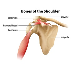 Bones of the shoulder vector