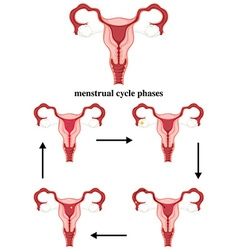 Menstrual cycle phases in human vector