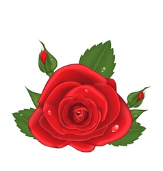Close-up red rose isolated on white background vector