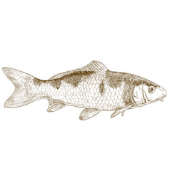 engraving of koi fish vector image