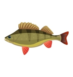 Perch perca fluviatilis percidae fish vector image