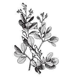 Anacardium occidentale vintage vector