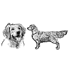 Golden retriever vector