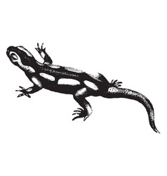Salamander vintage vector