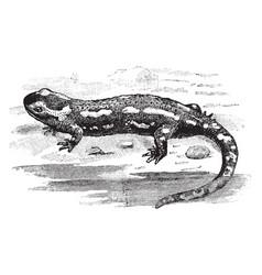 Spotted salamander vintage vector