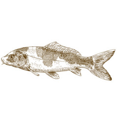 Engraving of koi carp vector