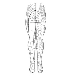 Cutaneous nerves of the back legs vintage vector