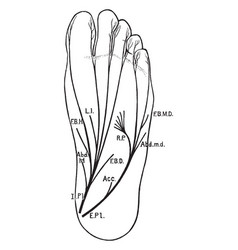 Plantar nerves of the foot vintage vector