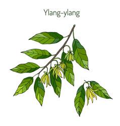Branch of ylang-ylang vector