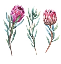 Watercolor tropical flower protea vector