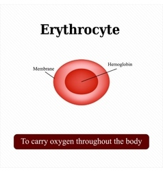 The structure of the red blood cell Erythrocyte vector image vector image