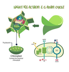 Photosynthesis process diagram vector