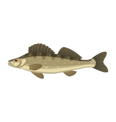 Zander sander lucioperca fish vector image