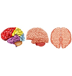 Different diagram of human brain vector image vector image