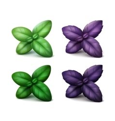 Set of green red purple basil leaves on background vector