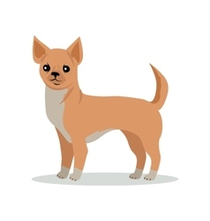 Chihuahua Dog Breed Flat Design vector image vector image