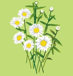 Camomile bouquet vector